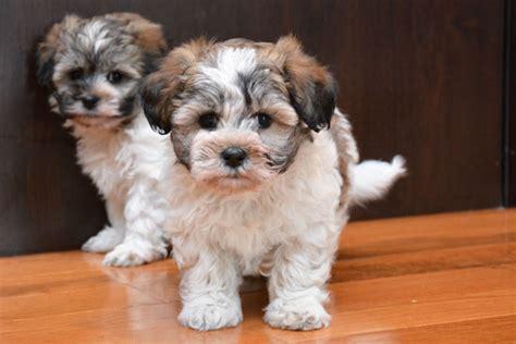 havanese poo hava poo puppies for sale