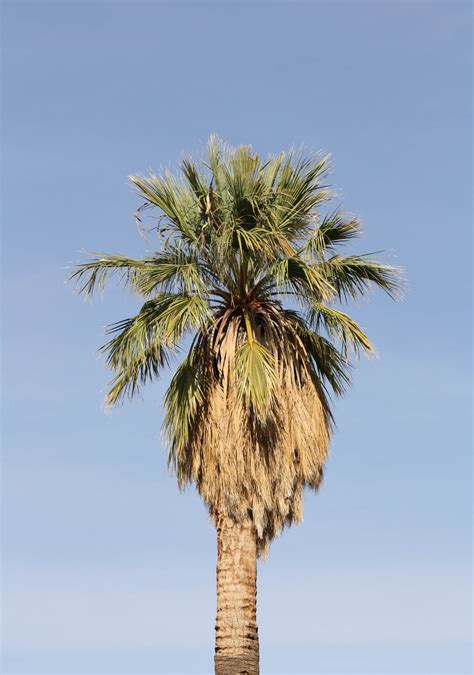 Wonderful Palm Tree Types #1: California_fan_palm_02.jpg