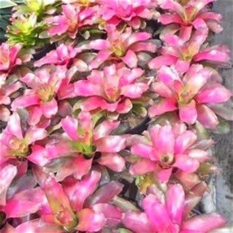 Tanaman Hias Keladi Tri Color Caladium Three Collour tukang taman pohon bromelia