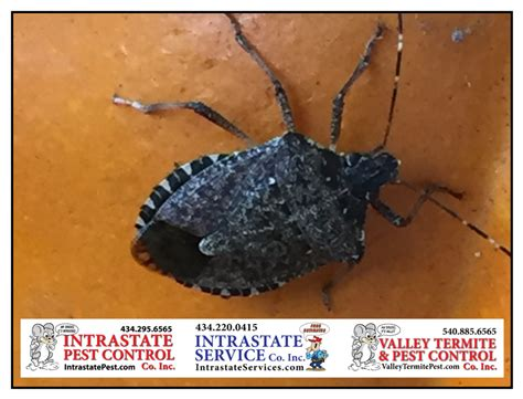how to keep stink bugs out of your house keep stink bugs out of your house intrastate pest control