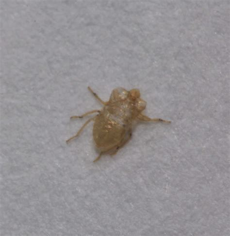 bed bug molt the worst case of bed bug infestation pest control of
