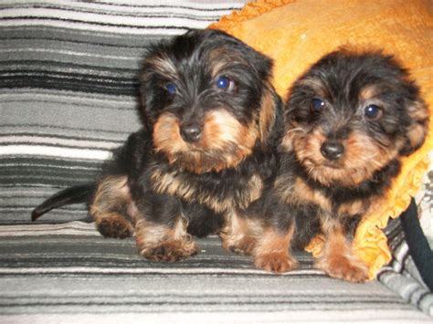 yorkie and dotson mix dachshund yorkie mix