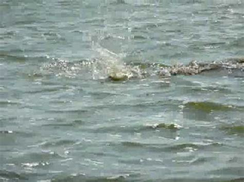 hippopotamus chasing a boat hippos chase tourist boat in africa doovi