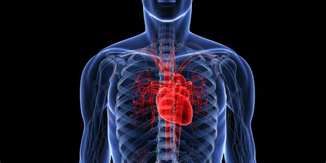 the heart is a location of heart in human body anatomy organ