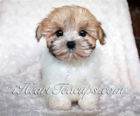 morkie puppies for sale teacup morkie puppy for sale iheartteacups