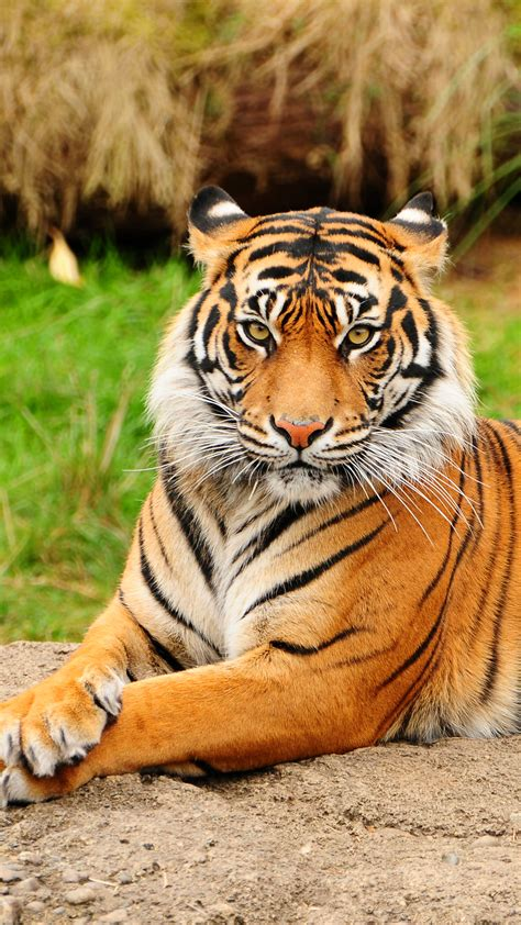 fondos de pantalla de tigres baja  tu celular fondosio