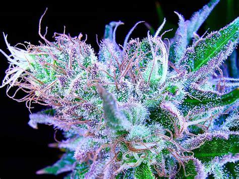 cannabis flower cannabis flower weed 101 thrive cannabis marketplace