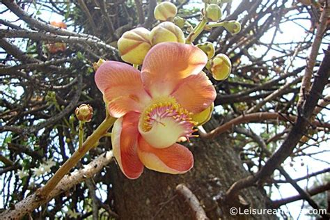sals fruit tree sal mal cannonball tree flowers linky leisure and me