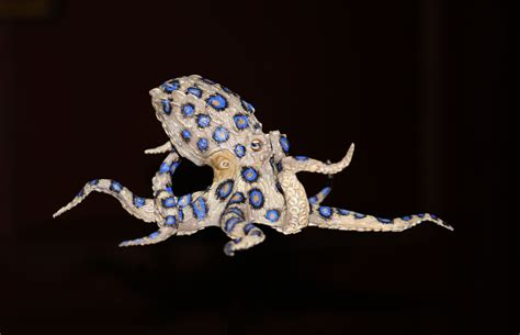 wallpaper blue ring blue ringed octopus wallpapers backgrounds