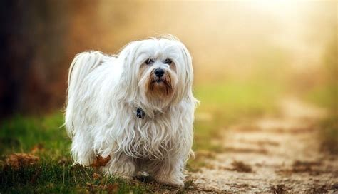 havanese facts pet all our paws