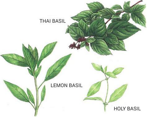 thai herbs a basil primer holy basil thai basil lemon