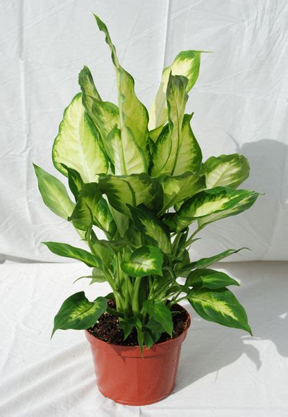 hawaiian house plants foothill tropicals inc indoor tropical house plants