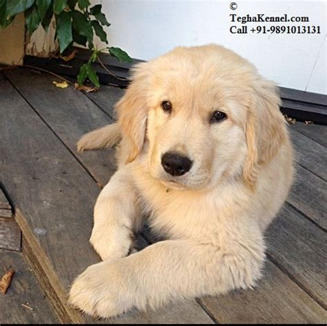 average price for a golden retriever puppy cost of a golden retriever puppy in delhi photo