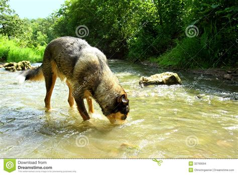 goldendoodle puppy drinks a lot of water water from river stock images image 32769594