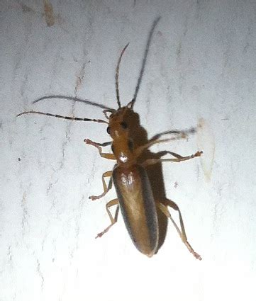 tiny brown flying bugs in bedroom black flying bugs in bedroom home everydayentropy com