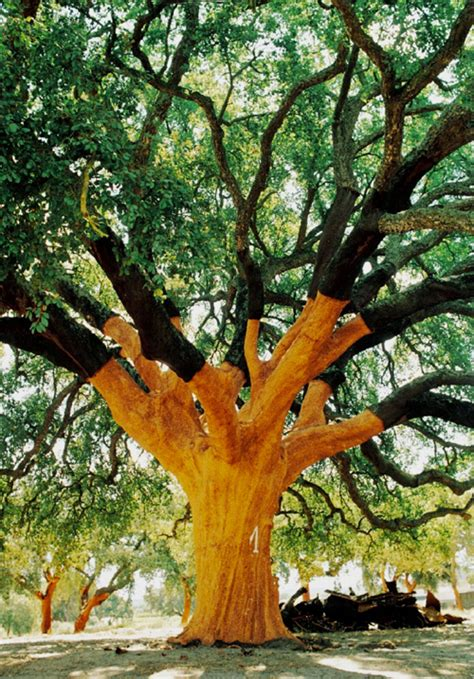 trees in cork the world s oldest largest cork tree the whistler tree