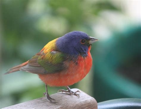 pictures of birds in the hill country of texas hill country mysteries painted buntings the most beautiful birds in america