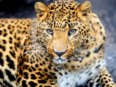 animal leopard desktop wallpaper hd  mobile phones