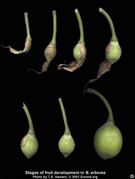 Images Of Plants Erowid Plants Vaults Images Brugmansia Arborea Fruit