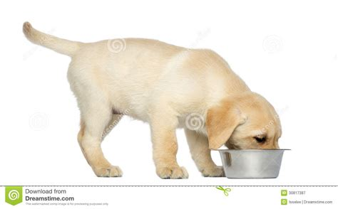 dog eating from bowl labrador retriever puppy standing and eating from his dog