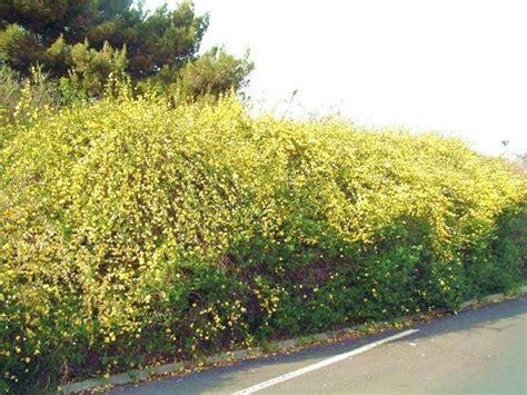 fiori gialli da giardino gelsomino giallo piante da giardino gelsomino giallo