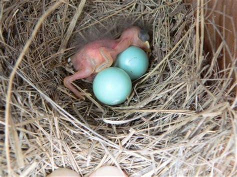 blue bird eggs hatching