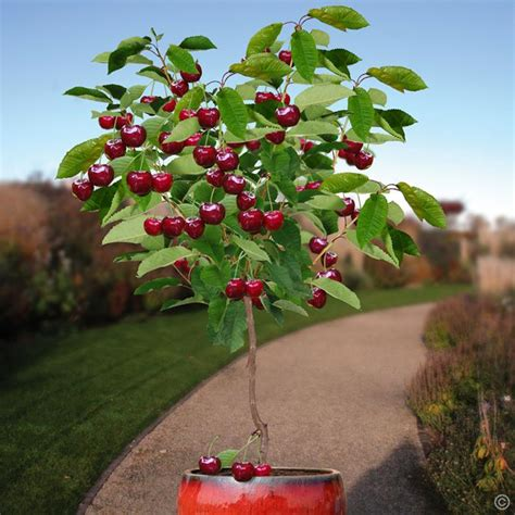 standard cherry bigarreau burlat 1 tree buy online order