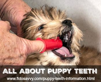 what age do puppies lose teeth puppy teeth information help