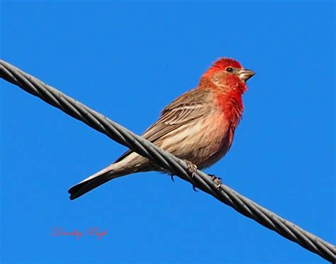 house finch calls house finch sounds 28 images gavilan house finch 301