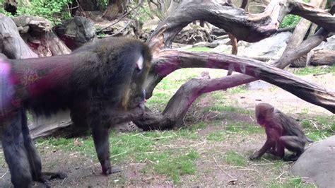mandrill rainbow butt monkeys entertain  crowd   bronx zoo nyc funny youtube