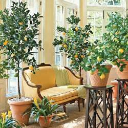 fruit trees indoors ficus lyrata indoor citrus trees