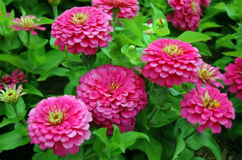 How To Plant A Flower Garden Growing Zinnia Plants Tips On How To Plant Zinnias