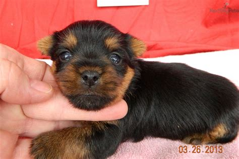 yorkie names and meanings yorkie puppy names breeds picture