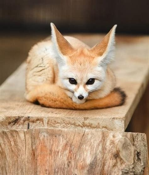 how cute pet foxes steal your heart best 25 fennec fox ideas on