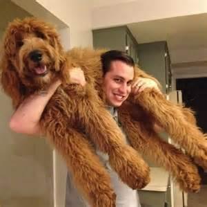 goldendoodle family dog pet pet