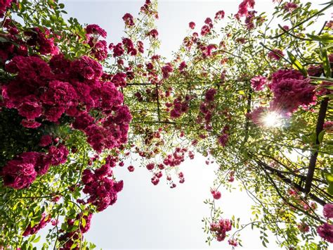 Rosenbogen Garten by Rosenbogen Im Garten F 252 R Einen Hauch Romantik Perfekt Heimwerken