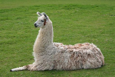 imagenes de animales llamas lama glama wikipedia la enciclopedia libre