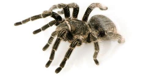images  tarantulas  spiders  pinterest cobalt blue jumping spider  baboon