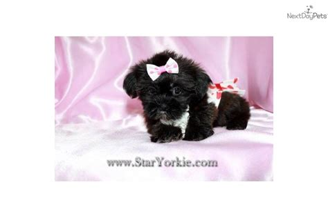 yorkie poo los angeles teacup yorkie puppies for adoption for sale in los angeles california breeds picture