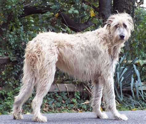 Wolfhound Shedding by Wolfhound Info Temperament Puppies Pictures