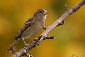 sauvage oiseaux des jardins forum alphadxd