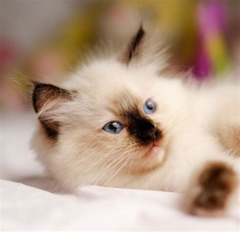 ragdoll origin 230 ragdoll cat names great ideas for naming your
