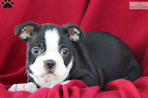 terrier puppies for sale near me boston terrier puppy for sale near lancaster pennsylvania 20d80667 7861