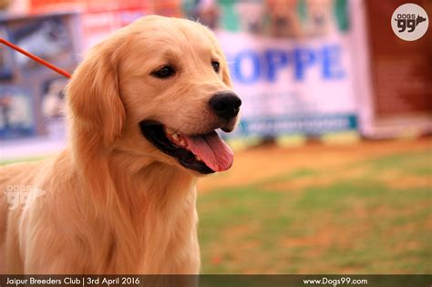 puppy show jaipur pet show jbc 2016 92 shows
