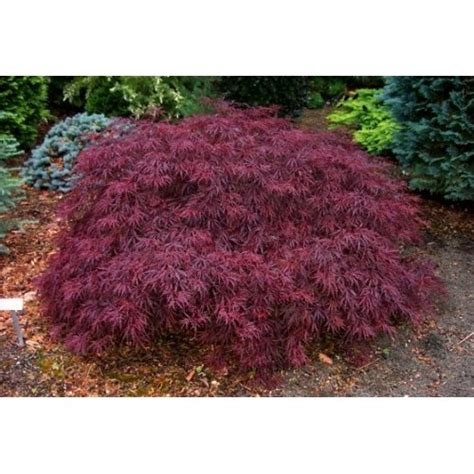 weeping japanese maple exteriors gardens pinterest