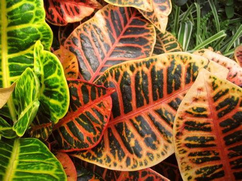 colourful foliage plants image gallery indoor plants colorful foliage