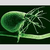 hydra-plant-reproduction