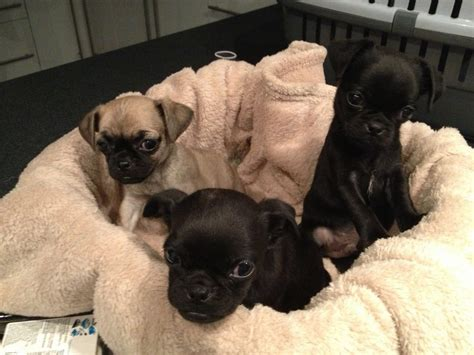 chihuahua x pug puppies chug puppies chihuahua x pug spennymoor county durham pets4homes