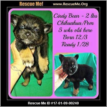 rescue me pomeranian kansas pomeranian rescue adoptions rescueme org