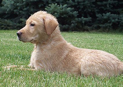 dogs for sale milwaukee golden retriever puppies for sale near milwaukee wi dogs in our photo